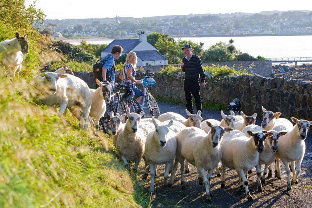 愛爾蘭有多少隻羊 How many sheep in Ireland - ask direction and encounter a lot of sheeps