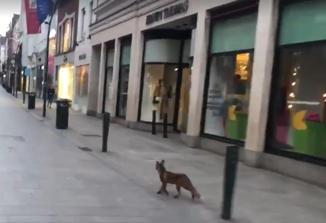 Fox in Grafton Street Dublin